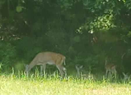 Photo of deer with one leg partially missing