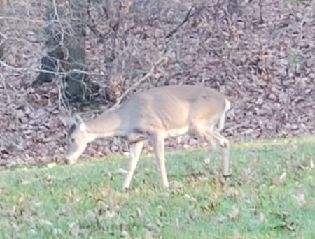 Photo of deer with one leg partially missing.